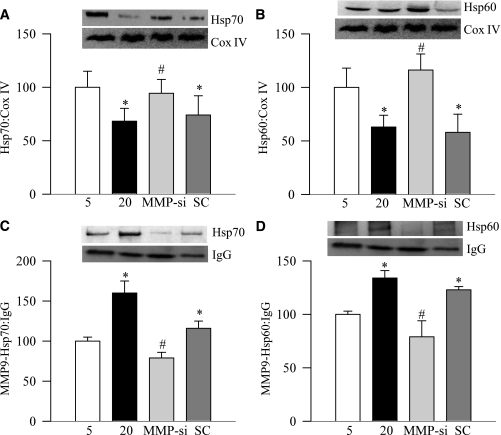 MMP-9 siRNA regulates glucose-induced decrease in the mitochondrial Hsp70 and Hsp60, and binding of MMP-9 with these chaperone proteins. Expressions of (A) Hsp70 and (B) Hsp60 were quantified in mitochondria prepared from BRECs transfected with MMP-9 siRNA (MMP-si) or scramble RNA (SC), and incubated in 20 mmol/L glucose for 4 days. For binding, MMP-9 was immunoprecipitated from cell homogenate using anti–MMP-9, and the relative abundance of (C) Hsp70 and (D) Hsp60 was determined by Western blotting using IgG as the loading control. Results are expressed as mean ± SD of three or more experiments. The values obtained from the cells incubated in 5 mmol/L glucose are considered as 100%. *P < 0.05, compared with 5 mmol/L glucose; #P < 0.05, compared with 20 mmol/L glucose.