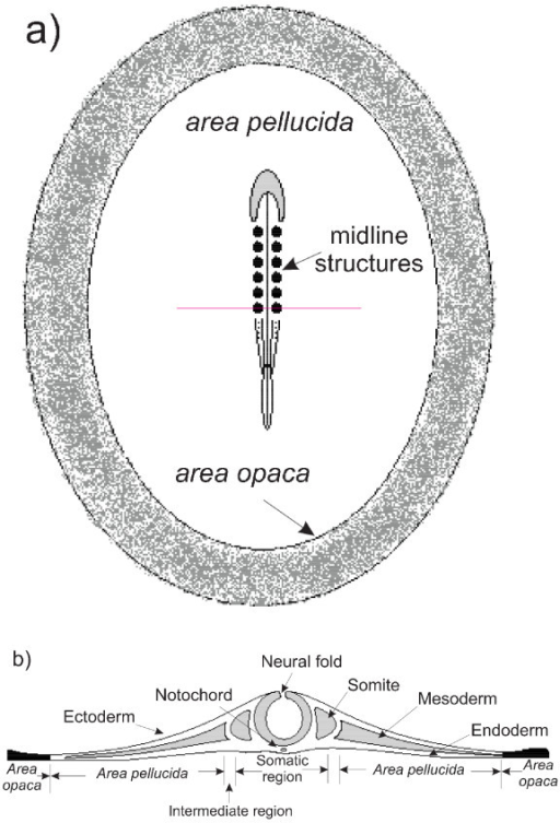 a) Schematic dorsal view showing the key regions of a H