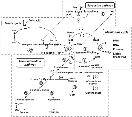 Hepatic C1 Metabolism With Pathways And Operating Enzym