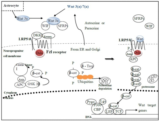 (Left) Wnt signaling is turned off when the ligand, although secreted by nearby astrocytes or neuroprogenitor cells, is bound by various Wnt inhibitors, such as Wnt inhibitory factor (WIF) and secreted fzl-related proteins (SFRPs). The fzl receptor remains bound by disheveled (dsh1) and LRP5/6 is bound by Dickopf (DKK1)-kremen complex, which helps anchor the complex into the membrane. With adenomatous polyposis (APC) and axin bound to casein kinase 1 and GSK-3β, these two kinases can now phosphorylate β-catenin, which is then sequestered by ubiquitins with the help of β-Trcp. β-Catenin is then degraded in the proteosome. (Right) Wnt signaling is turned on when Wnt binds fzl and the LRP5/6 co-receptor, promoting axin to dissociate from APC and dsh1 to phosphorylate LRP5/6. Meanwhile, casein kinase 1 phosphorylates GSK-3β, thereby inactivating it. β-Catenin then accumulates in the cytoplasm, enters the nucleus, where it binds to TCF/LEF and co-activators, such as pygopus (Pygo), legless (lgs), and P300/CBP, leading to the transcription of Wnt target genes.