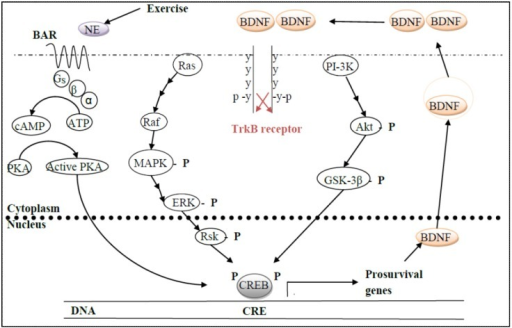 Exercise releases norepinephrine (NE), which binds its GPCR, β-adrenergic receptor (βAR), and then activates cAMP-dependent protein kinase A (PKA), which is only one of many kinases capable of phosphorylating the transcription factor, cAMP-response element binding protein (CREB). Activated CREB is then able to transcribe a wide array of pro-survival genes, one of which is BDNF. The neurotrophin is then packaged into vesicles and released to the extracellular space, where it dimerizes before binding to its receptor, TrkB, which also dimerizes upon ligand binding. TrkB dimerization results in the receptor cross-phosphorylating on opposite tyrosine residues, which then activates many different downstream intracellular signaling pro-survival pathways, only two of which are illustrated here: the phosphatidylinositol 3′-kinase (PI-3K) and mitogen-activated protein kinase (MAPK), ultimately also phosphorylating CREB for continued transcription of BDNF. Any of these pathways can be slowed down or inactivated by the action of phosphatases.