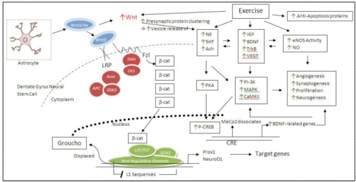 Exercise activates a wide variety of intracellular signal transduction pathways to promote neurogenesis of granule cells from neuroprogenitors in the dentate gyrus. Specifically applicable to neurogenesis, Wnt is released from neighboring astrocytes in a paracrine fashion, whereupon exercise increases Wnt signaling. Wnt binds its fzl receptor, complexed with LRP, and leading to the activation of Dshi, which, in turn, inactivates GSK3. The resulting accumulation of β-catenin (β-cat) in the cytoplasm and nucleus then binds to, and displaces, the gene regulatory proteins, LEF/TCF and Sox2 and the co-repressor, Groucho. β-Catenin then acts as a co-activator, and with transcription factors Prox1 and NeuroD1, stimulates the transcription of Wnt target genes. In addition, exercise also lifts the repressive MeCp2, thereby enhancing transcription. Normally, in the absence of exercise, Wnt3/3a is sent to the noncoding region of the granule cell, where L1 mobile elements are repressed during adult neurogenesis. Because L1 sequences contain the Wnt-regulatory element, the nearby genes can be indirectly up-regulated when the β-catenin/TCF-LEF complex is activated via Wnt signaling. In addition, exercise increases Wnt activity, leading to increased presynaptic protein and vesicle clustering, in turn leading to increased release of various neurotransmitters (norepinephrine, serotonin). Through a dizzying array of receptor and pathway cross-talk, these neurotransmitters, via GPCR signaling, can not only directly activate downstream PKA and subsequent transcription factor, CREB, thereby leading to the transcription of BDNF and related neurotrophic genes, but also activate other trophic factors (IGF-1, VEGF), thereby, in turn, activating a variety in intracellular signaling survival pathways (PI-3K, MAPK, CamKII), while simultaneously inhibiting apoptosis and inducing eNOS. Thus, both the Wnt regulatory element and the cAMP-response element (CRE) may participate (synergistically) to promote synaptogenesis, angiogenesis, proliferation, and neurogenesis.
