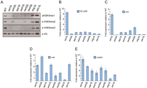 Set1 represses Tf2s and heterochromatic loci dependent and independent of Set1C subunits.(A) Set1C components contribute differently to H3K4me. H3K4me1, H3K4me2, and H3K4me3 were analyzed from histone extracts of indicated Set1C mutant strains by western blotting. (B) Set1-mediated repression of Tf2s is little affected in other Set1C mutant strains. (C–E) Set1 represses heterochromatic loci dependent and independent of Set1C. qRT-PCR was performed as in Figure 1 (s.d., error bars; n = 3). Pericentromeric repeat dg (cen), silent mating type cenH (mat), subtelomeric prl70 (subtel).