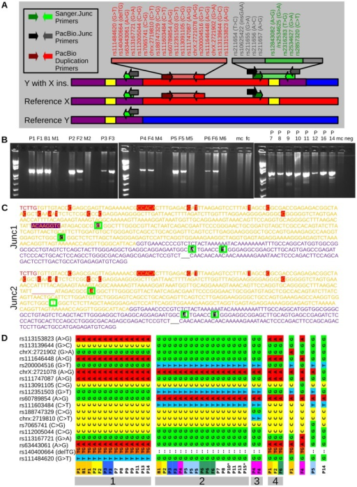 Sequencing to validate the insertion and demonstrate recurrence.(A) Illustrations of a reference Y chromosome, a reference X chromosome, and a Y chromosome with an X insertion. X specific sequence is indicated in red, Y specific sequence in blue, PAR1 reference sequence in purple, and LTR6B's in yellow. Arrows indicate primer pairs, with a bar representing an amplifiable product. The position of the SNPs of this study is shown in the order found in the amplicon. (B) PCRs using the Sanger.Junc primers shows bands for patients (P) and fathers (F), but not mothers (M), male controls (mc), female control (fc) or negative controls (neg), confirming the presence of an X specific insertional translocation in Y. (C) Sequenced amplicons of PCRs from part B, excluding reference upstream/downstream sequence. Red letters are from the X specific reference sequence. Yellow letters are from LTR6B reference sequence with red highlights indicating X specific LTR6B sequence and purple highlights indicating sequence specific for pseudoautosomal LTR6B. Purple letters indicate pseudoautosomal reference sequence. The gap underlined in red indicate bases missing from the X specific LTR6B. In black are annotated SNPs/Indels. In order from the beginning to the end of sequences, green boxes indicate SNP positions for rs2534625/rs12843082, rs2316283, rs2534627, and rs2857320. This Sanger sequencing identified two junction types, indicated as Junc1 and Junc2. (D) Phased haplotypes found through PacBio amplicon sequencing of the PacBio Duplication amplicons, with haplotypes assigned numbers indicated by gray boxes. Families in which both the patient and father were sequenced are color coded. No color indicates a sample in which the father was not sequenced. * Each individual has two haplotypes in the figure, except patients 10 and 15, which had a second unillustrated haplotype with many more variants that more closely resembled Y chromosome sequence.