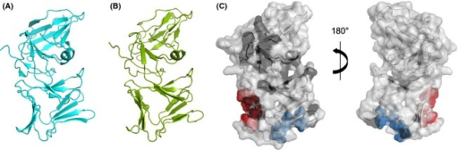 Structural diversity of L pyocins. (A) Cartoon representation of PyoL1 from Pseudomonas aeruginosa C1433 (PDB 4LE7). (B) Structural model of PyoL2 from strain 62. Estimated accuracy of the model is 1.42 (C-score) with a template modeling score of 0.91 ± 0.06 and root mean square deviation of 3.0 ± 2.2 Å. (C) Cartoon-surface representations of the PyoL2 model. Residues constituting the D-rhamnose binding sites IIIC and IIC are shown as blue and red spheres, respectively. Nonconserved residues differing between PyoL2 and PyoL1 are indicated in black. Conservative substitutions are not marked: V-M, E-Q, G-A, I-L, I-V, A-V, R-K, N-D, T-S.