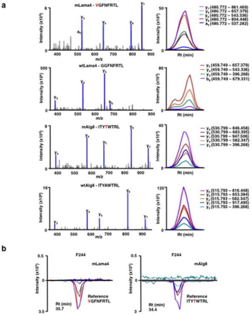 Generation of SRM assay library for the detection of mutant H-2Kb peptides on d42m1-T3a, SRM transitions were optimized for 51 of the 62 top predicted H-2Kb peptides. The 51 peptides chosen were selected based on having physiochemical properties that would allow their detection by MS if present. Only Lama4 and Alg8 are shown here for simplicity. The 51 peptides were synthesized and LC-MS/MS acquisition was performed on each peptide to determine the best collision energy and to obtain the full fragment ion spectrum (left panel); three to seven of the highest intensity peaks were selected to be built into SRM transitions. Optimal SRM transitions displayed as extracted ion chromatograms are shown (right panel). Q1 – Q3 transitions are indicated in parenthesis. The mutated amino acid in the peptide sequence is marked in red. b, F244 tumour cells, which lack the mLama4 and mAlg8 d42m1-T3 epitope, lack detectable mLama4 or mAlg8 in complex with H-2Kb as assessed by SRM.