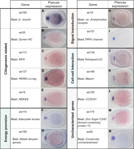 Examples of new apical organ genes related to cilia development and function A BLAST search against a custom dataset of cilia-related genes allowed the identification of 52 putative ciliary genes. These included genes that are related to general aspects of ciliogenesis (A–E), like a β-tubulin gene (A), and genes which might give a clue about the nature of the apical organ cilia, being related to provision of energy (F and G), transduction of signals (H and I) and cell–cell interactions (J and K). Interesting is also a number of conserved but uncharacterized genes, here identified with the putative orthologous human gene (L–N). The embryos displayed are all at planula stage, the aboral pole is to the left. Each gene is identified by the assigned ID and a name, either attributed by the genome annotation, or obtained through a BLAST search. Scale bar=100 µm.