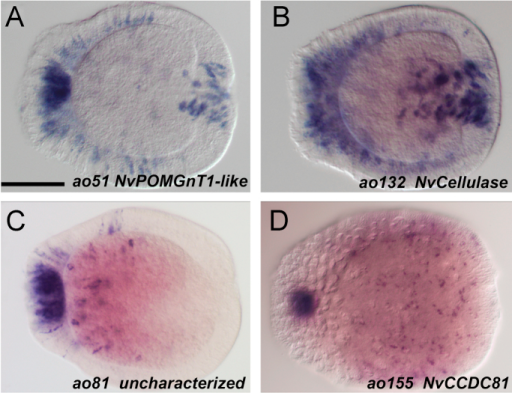 Apical organ genes with additional cell-type specific expression (A) The O-linked-mannose beta-1,2-N-acetylglucosaminyltransferase gene NvPOMGnT1-like (ao51) is expressed in scattered cells in the ectoderm and in the pharynx. (B) NvCellulase positive cells (ao132) are enriched in a broad domain in the aboral ectoderm and in the pharynx, scattered ectodermal cells are also present. (C) The uncharacterized gene identified by the ID number 239479 (ao81) is expressed in few ectodermal cells in the aboral half of the larvae. (D) The coiled-coil domain containing gene NvCCDC81 (ao155) is detected in individual cells throughout the entire ectoderm (picture focuses on the surface). The embryos displayed are all at planula stage, the aboral pole is to the left. Scale bar=100 µm.