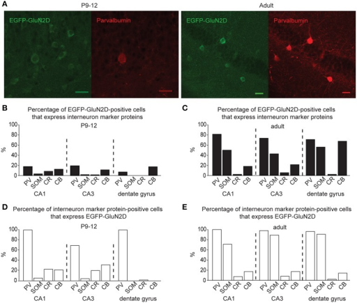 GluN2D-EGFP is expressed in hippocampal interneurons. (A) Immunohistochemical images of hippocampal EGFP-GluN2D-positive cells co-expressing PV in brains of P12 and adult mice. Scale bars = 30μm. (B,C) Quantification of EGFP-GluN2D-positive cells that express with PV, SOM, CR and CB in CA1, CA3 and dentate gyrus in P9-12 (B) and adult mice (C), respectively. (D,E) Quantification of the percentage of interneuron marker-positive cells that are EGFP-GluN2D-positive in CA1, CA3, and dentate gyrus in P9-12 (D) and adult mice (E), respectively.