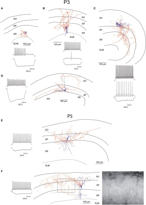 Morphology and firing pattern of GluN2D-EGFP-positive cells in P3-5 transgenic mice. (A–D) Reconstruction of four EGFP-GluN2D-positive cells (P3) with voltage responses to hyperpolarizing and depolarizing current injections. (E,F) Reconstruction of two EGFP-GluN2D-positive cells (P5) with voltage responses to hyperpolarizing and depolarizing current injections. Localization of cell body, dendritic and axonal arbors indicate that the two neurons may be an immature basket (upper) and an immature axo-axonic cell. The image of part of the axon in the stratum pyramidale of the lower cell (see dashed box in reconstruction) shows vertical rows of boutons (parallel to axon initial segments), typical for axo-axonic cells. SO, Stratum oriens; SP, stratum pyramidale; SR, stratum radiatum; SLM, stratum lacunosum-moleculare.