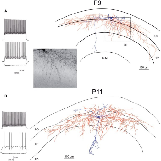 Morphology and firing pattern of GluN2D-EGFP-positive cells in P9-11 transgenic mice. (A) Reconstruction of an EGFP-GluN2D-positive cell (P9) with voltage responses to hyperpolarizing and depolarizing current injections. Firing pattern, localization of cell body, dendritic, and especially the axonal arbor at the border of SO and SP indicate that this is a fast-spiking axo-axonic cell. The image of part of the axon in the stratum pyramidale (see dashed box in reconstruction) shows vertical rows of boutons (parallel to axon initial segments), typical for axo-axonic cells. (B) Reconstruction of an EGFP-GluN2D-positive cell (P11) with voltage responses to hyperpolarizing and depolarizing current injections. Firing pattern and morphology (e.g., axonal arbor in SP) indicate that this is a fast-spiking basket cell. SO, Stratum oriens; SP, stratum pyramidale; SR, stratum radiatum; SLM, stratum lacunosum-moleculare.