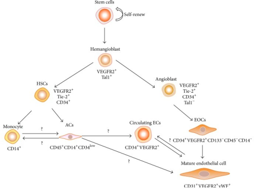 Adult Endothelial Progenitor Cell Phenotype Acs Angio