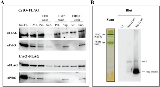 "Membrane binding analyses of CrtQ-FLAG and CrtO-FLAG.Western blots of soluble fractions vs. total membranes (5 μg each) isolated from both strains and the effect of different washes on CrtO and CrtQ membrane association. Total membranes were washed with EB8, EB12 or EB8+U and soluble (""Sol."") and pellet (""Pel."") fractions were generated by ultracentrifugation. Each lane was loaded with equal volumes of (resuspended) pellet or supernatant fractions. Three independent cultures were tested in this manner. (A). Western blots analysis of anti-FLAG resin eluates from 2% DDM-solubilized total membranes of WT, CrtO-FLAG and CrtQ-FLAG cells, separated on 4–18% Clear Native–PAGE (B). Colour scan of CN-PAGE gel for WT total membrane showing the relative migration of several known complexes."