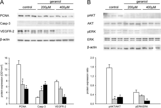 Geraniol action on protein expression.A: Western blot analysis of PCNA, Casp-3 and VEGFR-2 protein expression (optical density (OD)*mm²) of eEND2 cells, which were exposed for 24h to vehicle (white bars; n = 3) or 200μM (grey bars; n = 3) and 400μM geraniol (black bars; n = 3). B: Western blot analysis of pAKT/AKT and pERK/ERK protein expression ratio of eEND2 cells, which were exposed for 24h to vehicle (white bars; n = 3) or 200μM (grey bars; n = 3) and 400μM geraniol (black bars; n = 3). Means ± SEM. *P<0.05 vs. control.