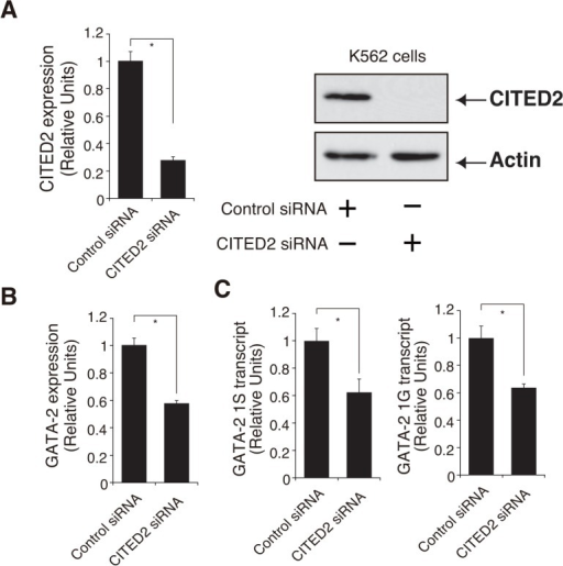 CBP/p300-Interacting Transactivator with Glu/Asp-Rich C-Terminal Domain 2 (CITED2) regulates GATA-2 expression in K562 cells.(A) CITED2 was knocked down with a pool of four synthetic small interfering RNAs (siRNAs) (Dharmacon) in K562 cells. The knockdown process was repeated twice at 24-h intervals. The cells were harvested and assayed 48 h after the first transfection. (A) CITED2 mRNA was significantly repressed after siRNA transfection (mean ± standard error [SE], n = 3, p < 0.001), and this result was confirmed by western blotting. Actin was used as a loading control. (B,C) GATA-2 mRNA expression and GATA-2 1S and 1G transcripts were significantly decreased (mean ± SE, n = 3, p < 0.001). * p<0.05.