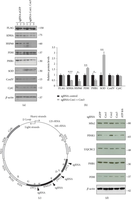 Alterations in mitochondria-associated proteins following CRISPR/Cas9-mediated mtDNA editing. (a) Mitochondrial proteins in HEK-293T cells after CRISPR/Cas9-mediated cleavage of mtDNA at Cox1 and Cox3 loci as determined by Western blots using indicated antibodies. β-actin was used as a loading control. (b) Quantification of mitochondria proteins in HEK-293T cells transfected with lentiCRISPR-sgRNA-Cox1 + Cox3 or lentiCRISPR-sgRNA-eGFP#2 control as shown in panel (a) normalized to β-actin. (c) Illustration of human mtDNA. Specific loci targeted by lentiCRISPR-sgRNAs (Cox1, Cox2, Cox3, and ATP8/6) are indicated with filled triangles. (d) Representative Western blots showing differential alteration of mitochondrial proteins following cleavage of specific mtDNA loci mediated by indicated sgRNAs in HEK-293T cells. Quantified data (b) are expressed as mean ± s.e.m., ∗P < 0.05, ∗∗P < 0.01, and ∗∗∗P < 0.001, unpaired two-tailed Student's t-test.