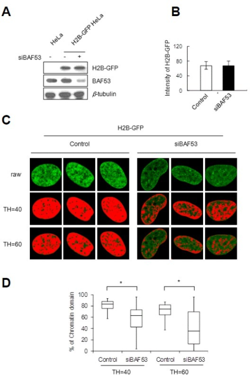 Disintegration of the chromosomal subdomains by BAF53 knockdown. HeLa cells stably expressing GFP-tagged histone H2B were transfected with siRNA-BAF53. (A) The expression levels of H2B-GFP and BAF53 were determined by immunoblotting. (B) The expression level of H2B-GFP of a cell was measured by integrating the signals from all of the pixels of the midsection image of a fixed nucleus revealing GFP-tagged histone H2B (t-test; P > 0.5). Error bars, mean ± SD (n = 10). (C) Representative images of the midsection of a fixed nucleus revealing GFP-tagged histone H2B. Pixels with gray values above the assigned thresholds (TH = 40 and TH = 60) are highlighted in red. (D) Distributions of the occupancies of red pixels in the control and BAF53-knockdown cell nuclei. Boxes represent median and quartile values, and bars define the 5th and 95th percentiles (n = 30). t-test; *P < 0.001.
