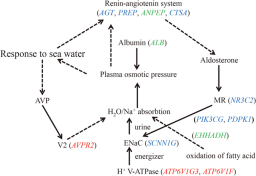 Interactions of positively selected genes and differentially expressed genes involved in the adaptation of F.cancrivora to high salinity.Red italics denote candidate positively selected genes, blue italics indicate significantly up-regulated genes and green italics genes experiencing positive selection and increased expression. (1) AVPR2, expressed mainly in kidney tubules, primarily serves to respond to the pituitary hormone arginine vasopressin (AVP) to maintain water homeostasis; production of ALB can facilitate blood plasma volume expansion, which serves to regulate blood pressure. (2) AGT, PREP, ANPEP and CTSA play roles in the renin-angiotenin system pathway; NR3C2, PIK3CG, PDPK1 and SCNN1G associate with aldosterone-regulated sodium reabsorption pathway. (3) EHHADH provides energy for tubule reabsorption through the oxidation of fatty acids in the proximal tubule; ATP6V1G3 and ATP6V1F are v-type-H+ ATPases and they participate in Na+ uptake as energizers.