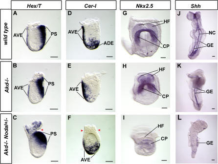Arkadia Facilitates All Major Nodal-Dependent Developmental Events(A–F) In situ hybridization on 6.5 dpc embryos (mid- to late-streak stage) shown as lateral views with anterior to the left and posterior to the right, with probes (A–C), Hex and Brachyury; (D–F), Cer-l. In (C), Akd−/− Nodal+/− embryo showing lack of elongation and proximal positioning of the Brachyury–expressing primitive streak, as well as loss of Hex expression indicating absence of AVE. (E) An Akd−/− embryo with normal Cer-l expression in the AVE but no Cer-l expressing ADE. (F) An Akd−/−, Nodal+/− embryo showing a distal Cer-l-expressing domain indicating lack of AVE migration (three other embryos do not express Cer-l, not shown). Red arrowheads point to a constriction between extraembryonic and embryonic regions indicating incomplete anterior-posterior axis specification.(G–I) Nkx2.5 probe on four-somite stage, 8.5 dpc embryo showing expression in the cardiac precursor tissue in the wild-type (G) and Akd−/− (H), but not in the Akd−/−, Nodal+/− embryo (I).(J–L) Shh probe on 12-somite stage embryos 9.5 dpc viewed from the ventral side with anterior toward the top. In the Akd−/− Nodal+/−embryo (L), note the reduction of Shh expression, the increased severity of the anterior truncation, and the absence of a morphologically distinguishable heart tube. PS, primitive streak; T, Brachyury; CP, cardiac precursors; HF, head folds; NC, notochord; GE, gut endoderm. Bars, 0.1 mm.