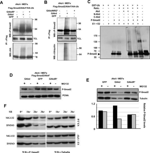 Arkadia Ubiquitinates P-Smad2 and Mediates Its Degradation via the Proteasome(A and B) IP with anti-Flag antibody from Akd−/− MEFs transiently transfected with various plasmids as indicated, and Western blotted (WB) with anti-P-Smad2, anti-HA, or anti-ubiquitin antibodies. Note the presence of higher molecular weight P-Smad2 corresponding to protein modifications, including ubiquitin chains as shown by the presence of HA-ubiquitin tags (A) or ubiquitin (B). These are present only in cells transfected with full-length Arkadia and not with GFP (A and B) or mutant forms GAkdR* (A) and GAkdNRG* (B), which disrupt the ubiquitin ligase activity and the interaction with P-Smad2, respectively.(C) In vitro poly-ubiquitinated P-Smad2 (bracket) was detected by Western blotting with anti-P-Smad2 antibody. Note the presence of high molecular weight species only in the reactions containing in vitro transcribed/translated full-length (Akd) or the C-Akd (aa 510–989) Arkadia proteins (see WB with anti-ubiquitin in Figure S5A). Retic., Reticulocyte extract; E1 + E2, ubiquitination enzymes; GST-Ub, GST-tagged ubiquitin.(D and E) Nuclear extracts from Akd −/− MEFs transfected with either GAkd, GFP, or GAkdR* plasmids alone (E) or with Flag-Smad2 and Alk4* (D) and treated with either MG132 (+ ; 30 μM) or DMSO (−) for 4 h prior to lysis, and Western blotted with anti-P-Smad2 and either anti-PCNA (D) or anti-Tubulin (E) antibodies for loading controls. P-Smad2 protein levels decrease specifically in cells expressing Arkadia, and this does not occur when the proteasome is inhibited or when the RING domain is mutated (GAkdR*), indicating that the degradation is mediated via the proteasome and the ubiquitin ligase activity of Arkadia. (E) Graphical representation of relative endogenous P-Smad2 levels normalized against the housekeeping gene Tubulin shows approximately a 2.5-fold reduction of P-Smad2 in Arkadia-expressing MEFs in the presence of DMSO when compared to MG132. GFP- and GAkdR*-expressing MEF samples do not show any differences.(F) Western blots (WB) with anti-P-Smad2 and anti-Tubulin antibodies showing the rate of P-Smad2 degradation in wild-type and Akd−/− ES cells in the presence of MG132 or DMSO control. After initial stimulation with Activin (0*), P-Smad2 is rapidly degraded in wild-type ES cells but not in Akd−/−. This degradation in wild-type cells is reduced in the presence of MG132 compared to the DMSO control, indicating that it is mediated via the proteasome. SB, SB431542; WT, wild-type.