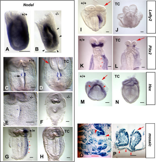 Arkadia Regulates Nodal Target Gene Expression and Phenocopies Smad2 in DevelopmentIn situ hybridization with Nodal probe on 6.5 dpc (A and B) and 8.5 dpc (C–H) embryos; (C–H) embryos are shown as ventral views with anterior to the top and left toward the right; (A, C, and G) wild-type (+/+); (B, E, and F) Arkadia−/− (−/−); and (D and H) tetraploid chimeras (TC). Compare (A) and (B) to see reduced Nodal expression in the mutant embryo. The TC shows normal expression of Nodal around the node (D) and reduced expression in the left-LPM (H), while the −/− embryo has no node or Nodal expression (E and F). Lefty2 probe on 8.5 dpc embryos (I and J) showing loss of expression in the left-LPM in the TC; Pitx2 (K and L) on 9.5 dpc embryos showing reduction of expression in the TC; and Hex (M and N) on 8.5 dpc showing loss of expression in the foregut pocket of the TC. Heart-level sections from 9.5 dpc (O) and 8.5 dpc (P) mosaic embryos (chimeras) stained for β-galactosidase activity (blue). Note selective contribution of wild-type cells in the foregut. Black arrowheads point at the visceral endoderm; black arrow, points at the node; red dots indicate the left-LPM; red arrows point at the head folds; red arrowheads indicate the definitive endoderm at the level of the foregut. Bars, 0.1 mm.