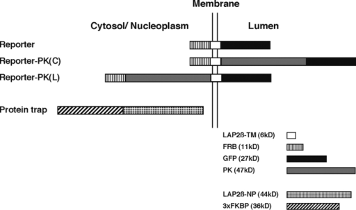 "Schematic diagram of protein constructs. The standard reporter plasmid encoded residues 401–452 of LAP2β (LAP2β-TM, which comprises a short cytosolic region and its transmembrane/lumenal domains) fused to GFP and FRB as shown. In some cases, PK was fused to the lumenal (Reporter-PK (L)) or the cytoplasmic (Reporter-PK(C)) side of the reporter. The ""protein trap"" plasmid encoded the nucleoplasmic domain of LAP2β (residues 1–401; LAP2β-NP) and three tandem copies of FKBP. The molecular masses of the various protein segments are indicated (bottom)."
