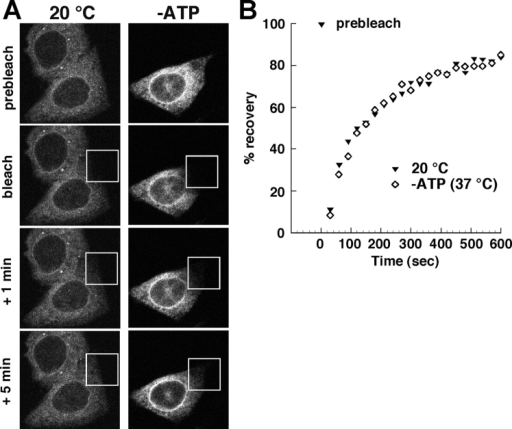 Effects of reduced temperature and energy depletion on the ER mobility of reporter protein. (A) HeLa cells cotransfected with reporter and trap plasmids were preincubated at 20°C for 10 min (left) or in glucose-free medium containing sodium azide for 15 min at 37°C (−ATP, right). The indicated boxed areas were photobleached, and the recovery of the fluorescence was measured at various times thereafter. Shown are images of cells immediately before and after photobleaching, and at 1 and 5 min thereafter. (B) Time course of recovery of fluorescence intensities in the photobleached areas shown in A. Fluorescence intensities were normalized to the prebleach intensities.