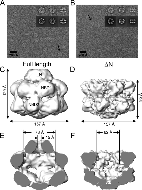 Cryo-EM Images and 3D Reconstructions of Hsp104(A and B) Cryo-EM raw images of Hsp104N728A (A) and Hsp104 ΔN (B) in the presence of ATPγS. Class averages containing 6–16 images of the final dataset, obtained by multivariate statistical analysis in IMAGIC, show characteristic views of the complexes (inset, upper row). Reprojections of the 3D structure in the Euler angle directions assigned to the class averages are included to judge the reconstruction (inset, lower row). The arrows indicate characteristic side views on the raw images.(C–F) Three-dimensional reconstruction of Hsp104N728A and Hsp104 ΔN at 13 Å and 11 Å resolution as side views (C and D) and cut open side views (E and F). N, NBD1, and NBD2 indicate the assignment for the Hsp104 domains. Surface views show the density rendered at a threshold accounting for a molecular mass of 612 kDa (Hsp104N728A) and 500 kDa (Hsp104 ΔN).