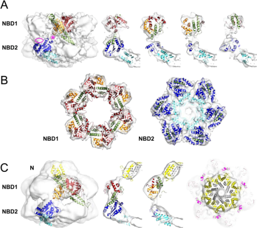 Docking of the Hsp104 Homology Model into the Cryo-EM Maps(A) Rigid body domain fitting into the Hsp104 ΔN map. Domains and subdomains are color coded as follows: NBD1, red/orange; NBD2, blue/cyan; coiled coil, green. The ATP binding pocket is located at the interface between the NBD subdomains (red/orange, blue/cyan). Left: front view of EM map with one monomer fitted. The connection between NBD1 and NBD2 (∗) and density in the NBD2 layer not filled by the docked structure (ellipse) are indicated. Right: 20 Å slices through the side view, in which the fitted hexamer is rotated anticlockwise through a 60° spherical segment.(B) Cross sections through the fitted NBD1 and NBD2 rings of Hsp104 ΔN. Color code is as in (A).(C) Rigid body fit into the Hsp104N728A map. Left: front view with same color code as in (A) and N termini depicted in yellow. Middle: 20 Å slices through the side view. The N-terminal region missing from the Hsp104 homology model is filled in by equivalent ClpB residues and colored in gray. Right: cross-section through the fitted N-terminal ring. Helix L3 in the coiled coil is colored in magenta.