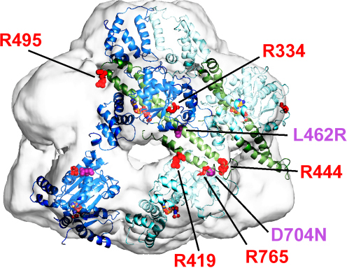 Positions of Key Residues in the Hsp104 Hexamer ModelTwo Hsp104 monomers, colored in dark and light blue, are fitted into the EM map. The coiled-coil domain is colored green in both monomers. Conserved arginine residues R419, R444, and R495 are shown as red spheres. Predicted arginine fingers R334 and R765 are shown as red sticks. L462R and D794N mutations are shown as magenta spheres. ATP is shown in ball and stick representation.