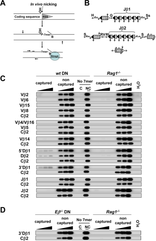 RSS nicks at the TCRβ locus in mouse developing T cells.(A) Strategy to detect RSS nicks in vivo using oligo-capture as described by [9]. Vertical and horizontal arrows schematize, respectively, sites for restriction enzyme digestion and primers for PCR amplification. The bar schematizes the hybridization probe used for Southern blot analysis. (B) Schematic view of the TCRβ regions analyzed in this study (not drawn to scale); 12- and 23RSSs are figured by black and white triangles, respectively; the single strand nick positions are indicated by vertical arrows. The locations of the PCR primers and hybridization probes are shown; H (HindIII); G (BglII); Ss (SstI); S (SphI); RV (EcoRV); RI (EcoRI). (C, D) Autoradiographs of Southern blots of oligo-captured DNAs. Total genomic DNA from WT, RAG1−/− or Eβ−/− DN thymocytes was investigated for single strand nicks at TCRβ RSSs or Cβ2 sequences (used as a negative control). Nicks at Vβ4 and Vβ16 genes were analyzed together; Vβ8 and Vβ5 corresponded to RSSs from three (Vβ8.1, Vβ8.2 and Vβ8.3) and two (Vβ5.1 and Vβ5.2) genes, respectively; single-strand nicks at Dβ2 12- and 23RSSs were analyzed conjointly as these two RSSs possess identical heptamers. Jβ1 and Jβ2 corresponded to all functional Jβ1 and Jβ2 12RSSs, respectively. They were analyzed in one single round using a mixture of specific heptamers followed by PCR amplification of a genomic fragment located at the 3′ end of the Jβ1 (or Jβ2) cluster. PCR reactions were carried out using increasing amounts of template DNA from the bead release (0.5, 1 and 2% of captured DNA) or the flow through (10, 25 and 50 ng of non-captured DNA). Additional controls used 2% of captured (C) and 50 ng of non captured (NC) fractions from genomic DNA treated in parallel except that the biotinylated oligonucleotide was omitted (No 7mer). Estimation of the amount of captured DNA. Assuming that the amount of genomic DNA is 6 pg per cell, the cellular equivalent of 10 ng of genomic DNA is 1650 cells or 3300 alleles. For the less efficient Dβ RSS (5′Dβ1 12RSS) the intensity of the band (when 2% of captured DNA is analyzed) is tenfold lower than the band of non-captured DNA (10 ng of DNA analyzed). Hence, for 2% of captured 5′Dβ1, we estimated that 330 Dβ1 alleles were amplified and that the total amount of captured 5′Dβ1 DNA is around 16500 Dβ1 alleles. We observed that the signal is well detected when approximately 80 copies were analyzed (0.5% of 5′Dβ1 captured DNA). Conversely, nicked Vβ and Jβ RSSs were not detected (even with an input of 10% of captured DNA, not shown), suggesting that there is less than 80 copies of Vβ or Jβ DNA in the PCR tube. If we considered that the efficiency of the oligocapture assay is similar for all DNA targets and that only the amount of nicked DNA varies, we estimated that the amount of nicked Vβ or Jβ RSSs is at least twentyfold lower than the amount of nicked Dβ.