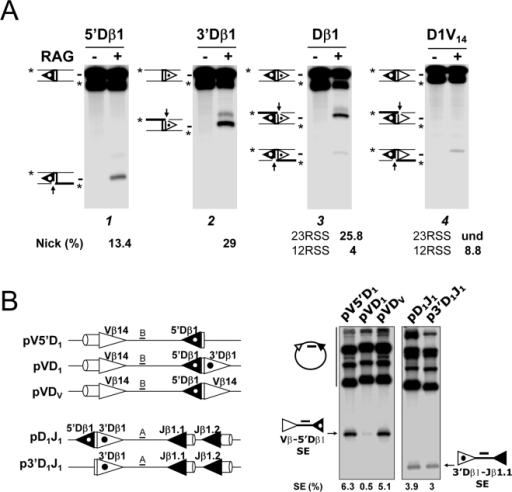 The Dβ1 23RSS impairs RAG1/2-mediated cleavages at the adjacent Dβ1 12RSS in vitro.(A) RAG1/2-mediated nicking assays using substrates comprised of the Dβ1 gene segment flanked by various combinations of 5′ and/or 3′ RSSs. The various Dβ-containing fragments were radio-labeled at the 5′ ends and incubated for 5 min without (−) or with (+) the RAG1/2 extract. (B) RAG1/2-mediated coupled cleavage assays of the substrates illustrated on the left. Depending on the substrate, Southern blot analysis used probes A or B, as indicated. (A and B) 12- and 23RSSs are depicted as black and white triangles respectively. Dβ1 RSSs are highlighted by a dot within the triangle. All results shown are representative of at least three separate experiments.