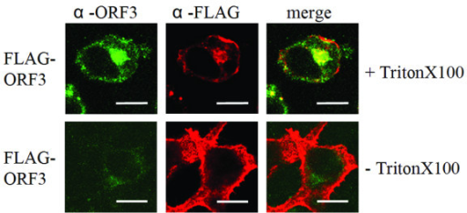 Topology of recombinant FLAG-tagged ORF 3 protein. Recombinant N-terminal tagged FLAG-ORF 3 protein was transiently expressed in HEK-293T cells and localization was analyzed by confocal laser scanning microscopy (cLSM 510 Meta, Zeiss). FLAG-ORF 3 protein was stained with rabbit-anti-ORF 3 recognizing the C-terminus and mouse-anti-FLAG for detection of the FLAG-tagged N-terminus (upper panel). Permeabilized cells (+TritonX100) show colocalized signals mainly in perinuclear regions for protein ORF 3 C-terminus and N-terminus whereas without permeabilization (-TritonX100) only FLAG-tagged N-terminus of protein ORF 3 could be detected at the plasma membrane (lower panel). Bars represent 10 μm.