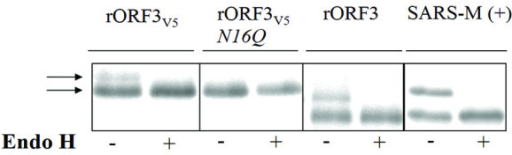 N-glycosylation of hCoV-NL63 ORF 3 protein. HCoV-NL63 ORF 3 protein with and without a C-terminal V5 tag, and with an N16Q exchange in the tagged version was in-vitro translated in presence of 35S-methionine. SARS-CoV M protein without a tag was translated in the same system as a control. Proteins were digested with endoglycosidase (Endo H) as indicated below each lane, subjected to SDS-PAGE, and visualized. Note the removal of the bands of increased molecular weight for the control and ORF 3 proteins, but not for the ORF 3 protein with an amino acid exchange at the hypothetical N-glycosylation site. Note also that extent of size reduction for the SARS-CoV M protein, which is known to have one N-terminal N-glycosylation site, is the same for the NL63 ORF 3 protein.