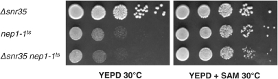 S-adenosylmethionine suppression of the Scnep1-1ts mutant incubated at 30°C. Yeast strains CEN.PK1016-9C (ScΔsnr35), CEN.PK1016-4C (Scnep1-1ts) and CEN.PK1016-7A (Scnep1-1ts Δsnr35) were spotted on YEPD medium without (left) or with S-adenosylmethionine (0.2 mg/ml, right).