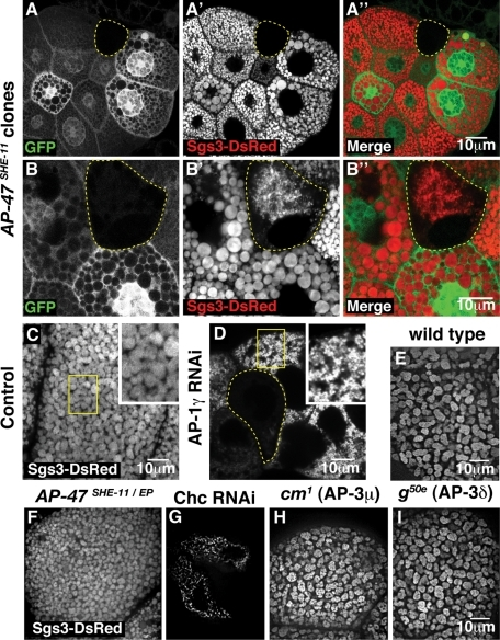 AP-1 is essential for glue granule biogenesis. Confocal fluorescence micrographs of late–third-instar (stage 2) larval salivary glands. (A–B'') AP-1μ (AP-47SHE-11) mutant clones (cells marked by the absence of GFP (green) and outlined in yellow) exhibit a complete block in production of Sgs3-DsRed–containing glue granules (red) (A' and A'') or strikingly small glue granules (B' and B''). Note that cells with two copies of wild-type AP-47 (marked by two copies of GFP) have larger granules than heterozygous cells (marked by one copy of GFP). (C–I) Confocal fluorescence micrographs of stage 2 larval salivary gland cells expressing Sgs3-DsRed. (C) Control salivary gland cells expressing the AB1-GAL4 driver alone have granules of normal size (C, boxed region; shown at 2× higher magnification in inset). (D) Salivary gland cells expressing both the AB1-GAL4 and a UAS-AP-1γ RNAi transgene completely lack glue granules (outlined cell) or have strikingly small glue granules (D, boxed region; shown at 2× higher magnification in inset). See also Supplemental Figure S2. (E–I) Spinning-disk confocal micrographs of salivary gland cells expressing Sgs3-DsRed. (E) Control wild-type cells showing normal-sized glue granules. (F) Larvae bearing the heteroallelic genotype AP-47SHE-11/EP1112 exhibit intermediate-sized granules. (G) Depletion of clathrin heavy chain by RNAi in cells expressing AB1-GAL4 and a UAS-Chc RNAi transgene causes a complete block in glue production in most cells, whereas a minority of cells produced small amounts of glue. (H and I) Strong loss-of-function mutations in AP-3μ (carmine1 [cm1]) (H) or AP-3δ (garnet50e [g50e]) (I) have no effect on glue granule biogenesis.