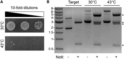 Temperature selection of the target vector. (A) Cells transformed with the target vector (pMM1) complement bacterial growth at 30°C but not 43°C on LB agar medium containing chloramphenicol (34 µg/ml). (B) NotI treatment of the target vector before and after performing the MuA reaction. For MuA reaction products, NotI digestion was performed on DNA that was purified from E. coli that had been selected for growth at 30 or 43°C on LB agar plates containing kanamycin (25 µg/ml) and chloramphenicol (15 µg/ml). NotI cleaved the target vector into two products: adk (669 bp) and target vector backbone (2745 bp). In contrast, NotI digestion of MuA reaction products amplified in E. coli at 30 and 43°C yielded four products (asterisk), whose weights correspond to adk (669 bp), adk with a single integrated minitransposon (2483 bp), target vector backbone (2745 bp) and target vector backbone containing a single integrated minitransposon (4559). A band corresponding to the minitransposon alone (1809 bp) was not observed.
