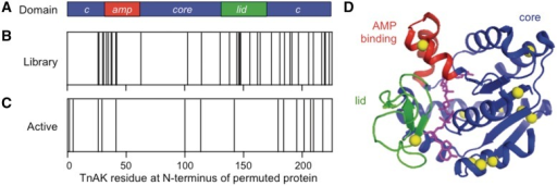 Sequences of permuted TnAK from the unselected and selected libraries. (A) Color coding of the core (blue) AMP binding (red) and lid (green) domains in TnAK sequence helps the reader map the location of new N- and C-termini in the permuted variants. (B) The TnAK residues encoded by the first codon in unselected adk are indicated with a line, as well as (C) selected variants that complement E. coli CV2. (D) The TnAK residues encoded by the first codon in each functional variant (yellow spheres) are mapped onto the structure of Bacillus subtilis AK (36), which displays 48% sequence identity with TnAK. The substrate analog P1,P5-di(adenosine-5) pentaphosphate is shown in magenta. The image was created using PyMOL.