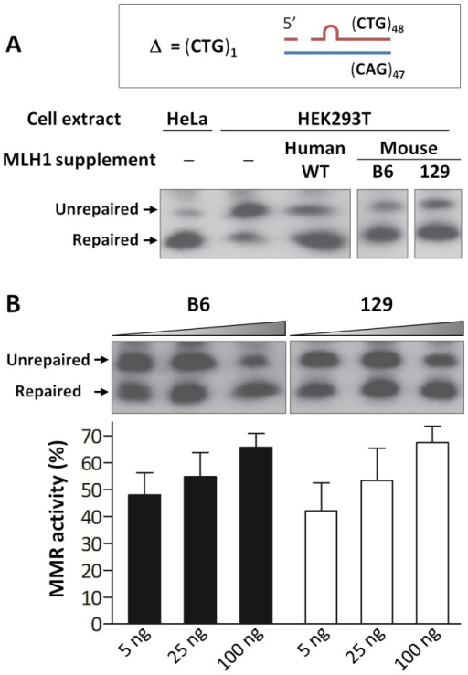 Repair of a single CTG slip-out in a cell-free MMR assay is MLH1 dose-dependent.(A) Short slipped-DNA repair using HeLa or HEK293T (MutLα-deficient) whole cell extracts complemented with equal amounts (100 ng) of purified MutLα protein complexes: hMLH1-hPMS2, mMLH1.B6-hPMS2 or mMLH1.129-hPMS2. Both B6 and 129 MLH1 proteins show ability to repair the mismatch when in a complex with hPMS2. The individual lanes represented are from the same blot. (B) Repair using MutLα-deficient HEK293T cell extracts complemented with increasing concentrations (5, 25 and 100 ng) of either mMLH1.B6-hPMS2 or mMLH1.129-hPMS2 protein complexes. Quantification of repair suggests that both B6 and 129 MLH1 proteins are comparably efficient at repairing CTG slip-outs. In addition, it suggests a MutLα dose-dependency, with higher concentrations of mMLH1-hPMS2 resulting in higher levels of MMR activity (p = 0.0013). The individual lanes represented are from the same blot and the experiment was reproduced three times. Bars graphs represent mean ±SD.