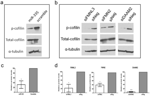 MiR-335, FMNL3, FMN2 and DAAM2 regulate actin cytoskeleton dynamics.(a) Transfection of cells with miR-335 mimics resulted in a reduction in the levels of phosphorylated cofilin protein and did not affect the levels of total cofilin protein (b) siRNA-mediated inhibition of FMNL3, FMN2 and DAAM2 produced a reduction in phosphorylated cofilin levels without altering total cofilin protein levels. Densitometric quantification of reduced phospho-cofilin protein in response to enhanced miR-335 expression (c) and reduced expression of FMNL3, FMN2 and DAAM2 (d) performed on duplicate blots and normalised against the appropriate alpha-tubulin loading control.