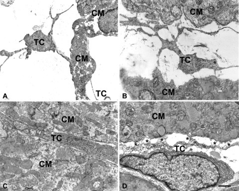 Electron microscopy. At E14 (A) and E17 (B), cells featuring telocytes are located in the wide space that separates the columns of immature cardiomyocytes. By their long, thin processes the telocytes come in contact and border the cardiomyocyte surface. In (C), at P0, a process of a telocyte showing a more differentiated phenotype, with several rough endoplasmic cisternae, is immersed in a loose extracellular matrix and occupies the interstitial space between two cardiomyocytes. The interstitium is now reduced in size. In (D), the process of a telocyte establishes numerous interactions (asterisks) with an adjacent cardiomyocyte, in the form of focal plasma membrane contacts and intercellular bridges of flocculent, basal lamina-like material. CM = cardiomyocytes; TC = telocytes. Bar: A= 1.6 μm; B= 1.3 μm; C= 1 μm, D= 0.6 μm.
