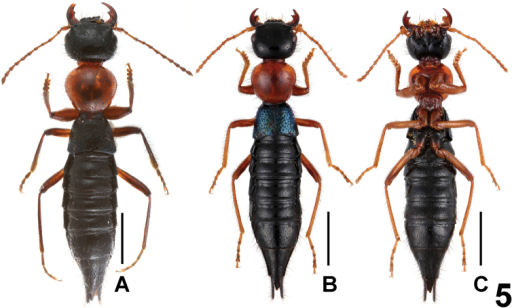 Habitus of Paederus parvidenticulatus (Maoer Shan). A–B lateral view C ventral view. Scales: 2.0 mm.