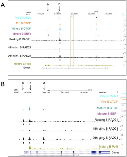 Binding profiles at the Pax5 and Prdm1 gene loci.(A) Binding profiles at the Pax5 gene locus. ChIP-seq profiles of RAD21, CTCF, EBF1 and PolII binding at the Pax5 gene. (B) Binding profiles at the Prdm1 gene locus - ChIP-seq profiles of RAD21, CTCF, EBF1 and PolII binding at the Blimp-1 gene.