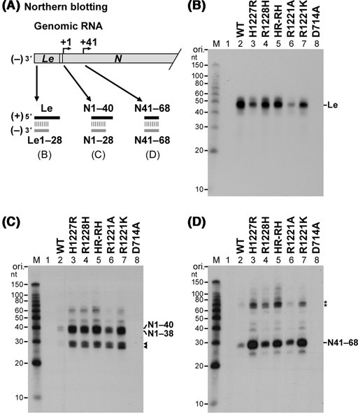 Cap-defective mutant L proteins produce large amounts of short N mRNA fragments including N1–40 and N41–68 RNAs. As illustrated in panel (A), short transcripts, synthesized by the wild-type (WT) or mutant L protein, were analyzed by northern blotting to detect the leader RNA (B), N1–40 RNA (C) and N41–68 RNA (D) with 32P-labeled oligo-DNA probes complementary to their 5′-terminal 28-nt sequences. Lane 1 indicates no L protein. Putative N1–28 and N1–30 RNAs are marked by arrowheads (C). Asterisks represent unidentified transcripts (∼70 nt) detected with the (−)N41–68 probe (D).
