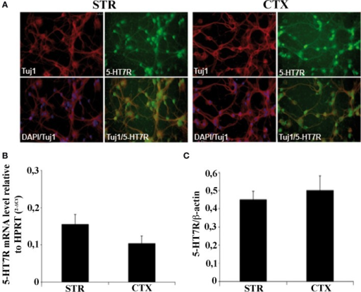 Characterization of striatal and cortical primary cultures. (A) Photomicrographs of the cells in striatal and cortical cultures immunostained with specific antibodies against neuronal marker Tuj1 (red), and 5-HT7R (green), as indicated in each panel. Cell bodies were counterstained with the nuclear marker DAPI (blue). (B) Expression levels of 5-HT7R mRNAs, determined by real time RT-PCR, in neuronal cultures. The bars represent the 5-HT7R mRNA levels normalized with those of the housekeeping gene HPRT (means ± SEM; n = 3). (C) Quantitation of 5-HT7R protein in neuronal cultures. The bars represent the densitometric values of 5-HT7R Western blot signals normalized with those of β-actin signals in the same samples (mean ± SEM; n = 3). STR: cultures from the striatal complex of E15 mouse embryos; CTX: cultures from the cortex of E15 mouse embryos.