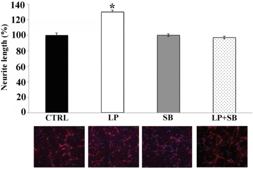 Stimulation of 5-HT7R enhances neurite outgrowth in hippocampal primary cultures. Hippocampal cells were treated for 2 h with the 5-HT7R selective agonist LP-211 (LP, 100 nM), alone or in combination with the selective 5-HT7R antagonist SB269970 (SB, 100 nM). Neurite length was measured on cells stained with anti-Tuj1 antibody, and expressed as percentage of values measured in the corresponding vehicle-treated cultures (CTRL, set to 100%). The bars represent means ± SEM from randomly selected fields for each cell culture conditions (n = 10). Asterisk (*): values significantly different from CTRL by One Way ANOVA followed by Dunnett post-hoc test (p < 0.05). The panels below each bar display representative images of hippocampal neurons immunostained with the neuronal marker Tuj1 (red) and counterstained with the nuclear marker DAPI (blue; magnification 20x).