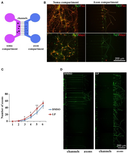 Stimulation of 5-HT7R enhances axonal outgrowth in cultured hippocampal neurons. (A) Schematic representation of microfluidic chambers. (B) Co-immunolabeling of neurons cultured in microfluidic chambers with the neuronal marker Tuj1 (green) and either the axonal marker Tau (top row, red) or the dendritic marker Map2 (bottom row, red). Dendritic immunolabeling is confined in the soma compartment and only axons cross the micro-channels to reach the other compartment. (C) The number of axons crossing the micro-channels is significantly higher in LP-211 treated cultures (LP, red line), respect to control (DMSO, blue line), after 3, 4, and 5 DIV. Asterisk (*): values significantly different from DMSO by One Way ANOVA followed by Dunnett post-hoc test (p < 0.05). (D) Representative hippocampal cultures grown in the presence of DMSO or LP and immunolabeled with the Tuj1 antibody (green).