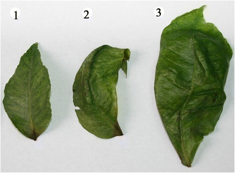 The symptom of Citrus limon leaves after infection with HSVd. Lanes 1–3 represent the symptom of different leaves from the same Citrus limon tree