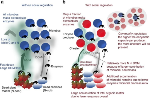 Effects of social regulation on microbial organic matter decomposition.(a) Without social regulation (all microbes produce enzymes), turnover rates are high due to a direct positive feedback of enzyme production on microbial growth. The accumulation of microbial remains is limited by a relatively high ratio of enzymes to microbial biomass. The consequently large DOM pool features losses of labile C and N. (b) When cheaters are present, only a (self-regulated) fraction of microbes produces enzymes, resulting not only in a lower total amount of enzymes, but also in a lower amount of enzymes per microbial biomass, leading to a lower amount of enzymes per dead microbial biomass (microbial remains). While the lower total amount of enzymes slows down decay rates, resulting in a smaller DOM pool and less loss over time of C and N by leaching, the lower ratio of enzymes to microbial remains increases the pool of N-rich microbial remains in relation to N-poor plant material, which in turn lowers DOM C:N ratio and alleviates microbial N limitation.