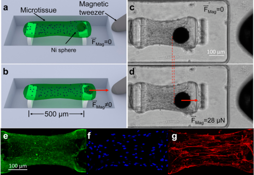 Magnetic microtissue platform for the study of the dynamics of self-assembled smooth muscle tissue constructs.(a) Schematic three quarters view showing a microtissue suspended between two flexible PDMS micropillars whose deflections report the microtissue's contractile force. The wells are 400 μm × 800 μm × 125 μm deep. The flexible lower sections of the pillars were 30 μm × 170 μm in cross section and 85 μm high, and the pillars had spring constants k = 0.59 μN/μm for small lateral deflections. (b) A magnetic force FMag applied via a magnetic tweezer to a magnetic Ni sphere bonded to one of the pillars is used to apply time-varying strains to the microtissue. (c,d) show top-views of a SMC microtissue with (c) as grown, and (d) subjected to a 2% strain under FMag. = 28 μN. The Ni sphere appears as a black circle, and the tip of the magnetic tweezer is visible at the right edge of the images. 2D projected fluorescence confocal images of a microtissue show (e) collagen type-I, (f) nuclei, and (g) F-actin.